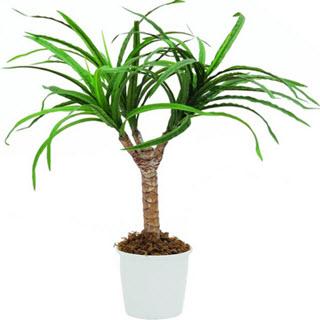 Dracena-Drachenbaum Kunstpalme