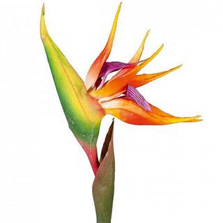 Strelizie Exotische Kunstblume